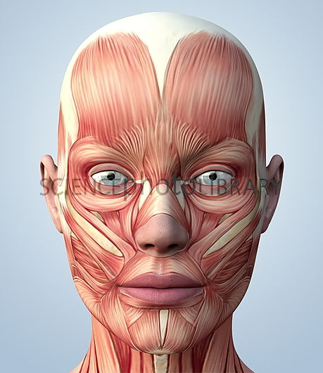 Muscular system of the head. Computer artwork showing the musculature of the front of a human female's head. The muscles shown are skeletal muscles. These muscles are consciously controlled by the brain. They move the face and head by contracting and relaxing, often in opposing pairs, which pulls tendons (white) attached to the bones.